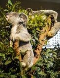 Koala on eucalyptus tree Stock Photos