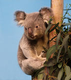 Koala in eucalyptusboom Stock Afbeeldingen