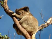 Koala in Eucalyptusboom Stock Afbeelding