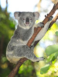 koala för Australien australiensisk björncommon Arkivbild