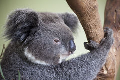 Koala face Royalty Free Stock Images
