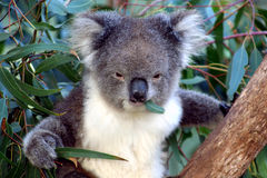 Koala face, Australia. Koala in a eucalyptus tree eating a gum leaf, Australia Royalty Free Stock Photography