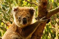 Koala. Face of Koala(Phascolarctos cinereus)in tree Tower Hill Koroit, Vic Royalty Free Stock Photos
