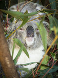 Koala-Familie Australien Lizenzfreies Stockfoto