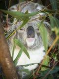 Koala Family Australia. Australian Wild Life, Koalas are located throughout Australia you will find this national icon sleeping amongst the Gum trees Royalty Free Stock Photo