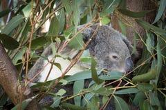 Koala Family Australia. Australian Wild Life, Koalas are located throughout Australia you will find this national icon sleeping amongst the Gum trees Royalty Free Stock Photography