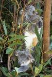 Koala Family Australia. Australian Wild Life, Koala's are located throughout Australia you will find this national icon sleeping amongst the Gum trees Royalty Free Stock Images