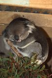 Sleeping Koala uses paw as pillow Royalty Free Stock Photo
