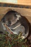Sleeping Koala uses paw as pillow Royalty Free Stock Photo