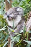 Koala feeding Stock Image