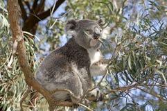 Koala feeding stock photo