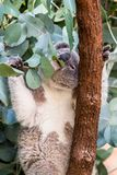 Koala feeding on gum leaves stock photo