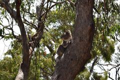 Koala free in nature on top of a tree in Australia. stock image