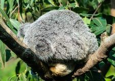 Koala furbag ύπνου το χαριτωμένο αντέχει στοκ εικόνες