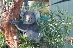 Koala eating leaves stock image