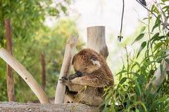 Koala at Gan Garoo Royalty Free Stock Photos