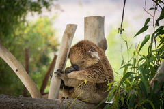 Koala at Gan Garoo Stock Image