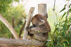Koala at Gan Garoo Stock Images