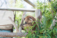Koala at Gan Garoo Stock Photography