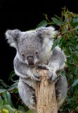 Koala grasping branch with four paws. As it looks down at what is happening below Royalty Free Stock Photos