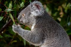 Koala grasping gum leaves as it looks reflective. Koala grasping gum leaves with one paw as it gazes into the distance, looking reflective Stock Image
