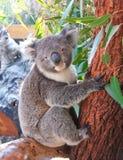 Koala grazioso Fotografie Stock
