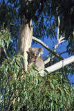Koala in gum tree. A koala sitting in a gum tree looking back at the camera Royalty Free Stock Photography