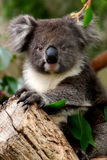 Koala-Haltung lizenzfreie stockfotos