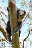 Koala hanging in a tree Stock Photography