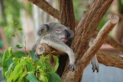 Koala hanging in tree while he& x27;s sleeping royalty free stock images