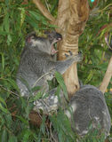 Koala having a rare showing of teeth Stock Images