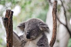 Koala having a rest Stock Photo