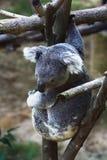 Koala het leuke hangen Stock Afbeeldingen