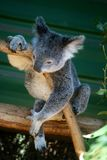 Koala - het pictogram van Australië Stock Fotografie