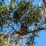 Koala hiding high in on the eucalyptus tree. Australia, Kangaroo Island royalty free stock photos