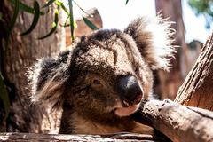 Koala hiding high in on the eucalyptus tree. Australia, Kangaroo Island stock photo