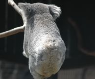 A koala with his back to the viewer. A closeup of a koala walking along a branch, with his back towards the camera Stock Photos