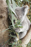 Koala and his eucalyptus Royalty Free Stock Images