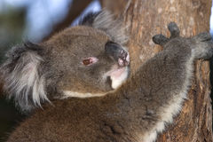 Koala at home Stock Photography