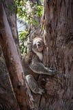 Koala hugging eucalyptus tree. Royalty Free Stock Photography