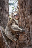 Koala hugging eucalyptus tree at its afternoon nap. Stock Image