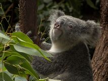 Koala i en eukalyptusträd som ser upp royaltyfri foto