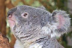 Koala i ett träd Arkivfoto