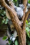 Koala i ett träd Royaltyfri Fotografi