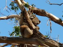 Koala i eukalyptusträd Royaltyfri Fotografi