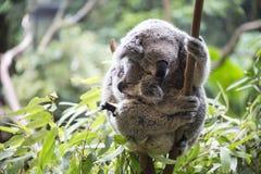 Koala i jej joey Zdjęcie Royalty Free
