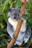 Koala i Queensland Arkivfoto