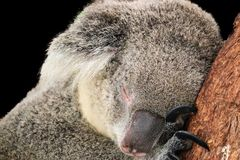 Koala isolated on black background royalty free stock photo