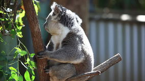 Koala in its natural habitat of gumtrees stock footage