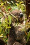 Koala je świeżą zieleń w gumowym drzewie opuszcza Obrazy Royalty Free